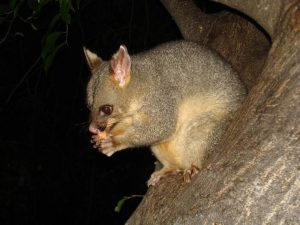 what do brushtail possums eat