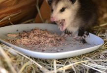 what do opossums eat