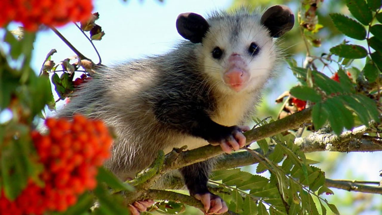 What Fruit Do Possums Eat?   and Why? – Possums Secondary