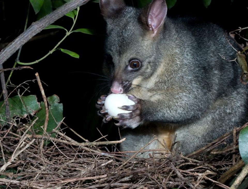 what do possums like to eat
