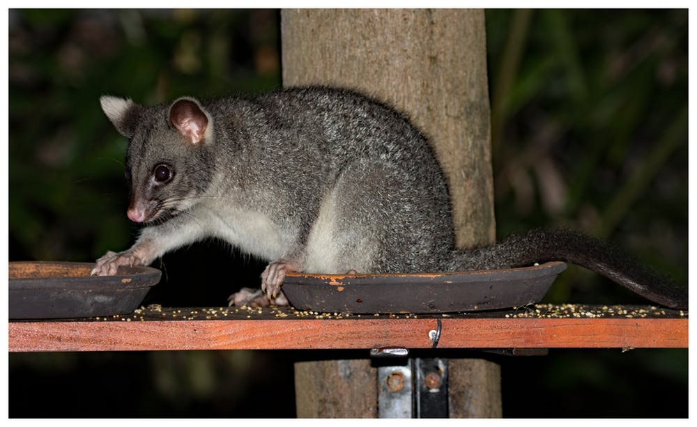 what fruits do possums eat