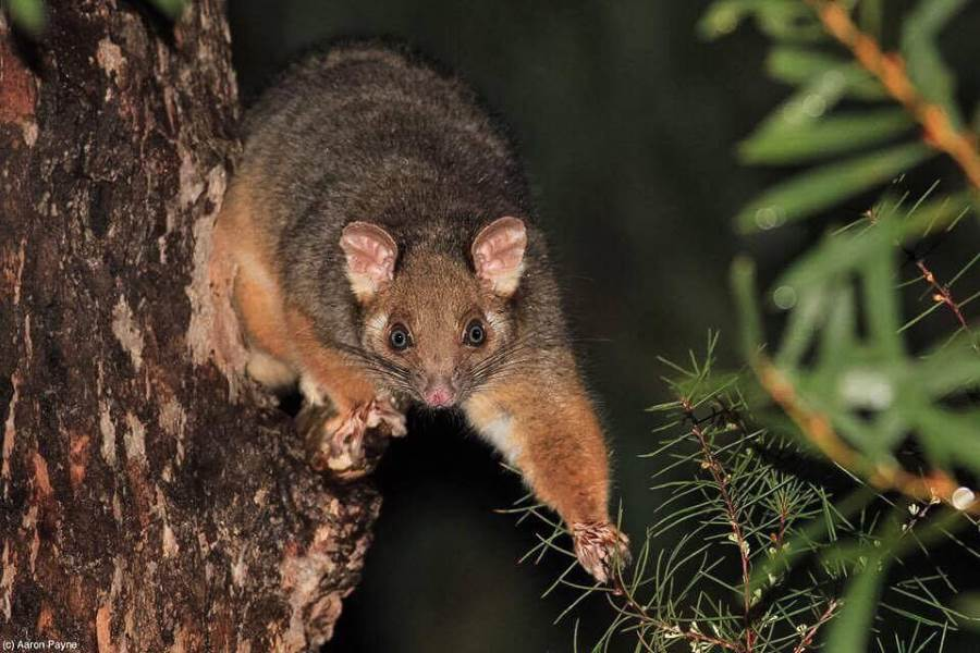 what do australian possums eat