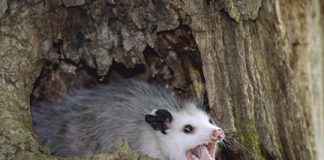 how long do possums live