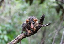 do possums eat ticks