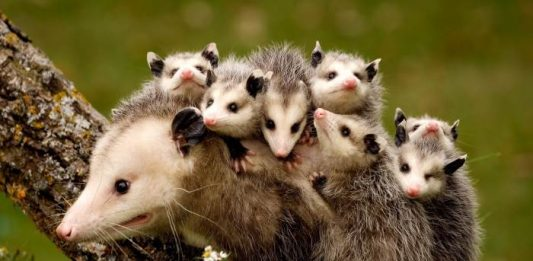 where do possums live