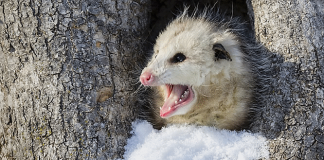 what eats possums