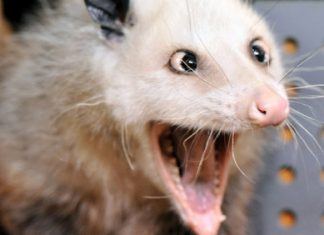 how many teeth does a possum have