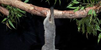 do possums hang by their tails