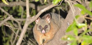 do possums live in trees