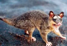 do possums live in groups