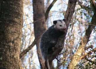 is a possum a rodent