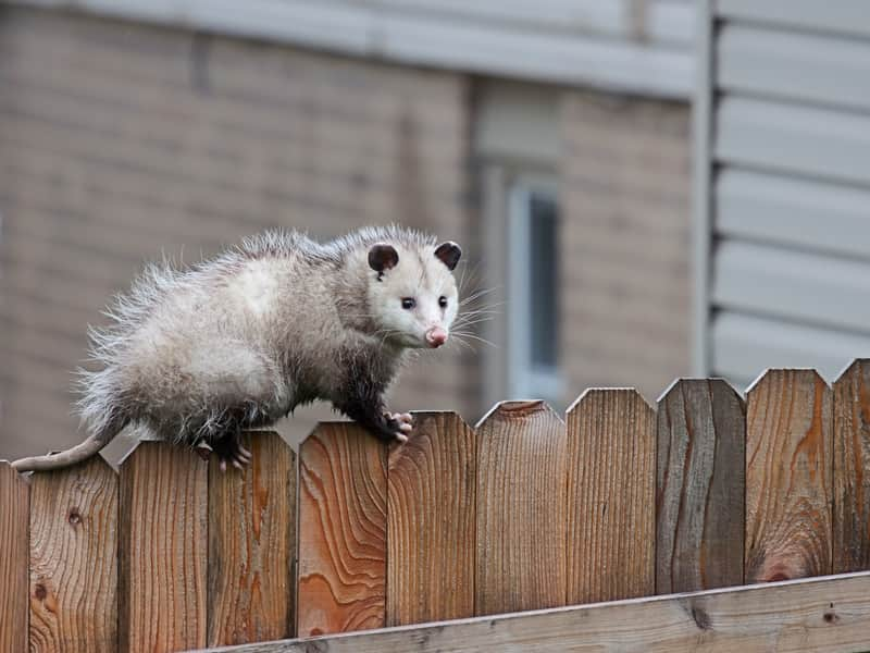 do possums in winter
