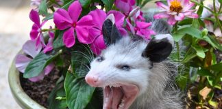 do opossums carry rabies