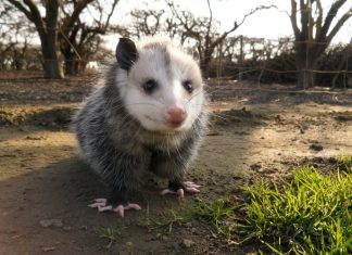 north america's only marsupial